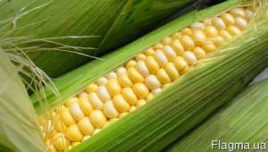 Кукуруза сахарная Оверленд