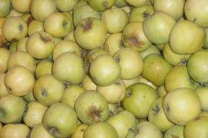 Саджанці яблуні Кальвіль сніговий