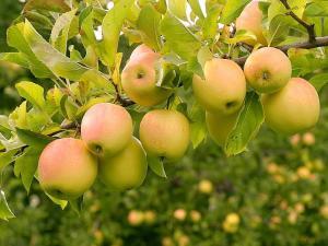 Саджанці яблуні Голден Делишес