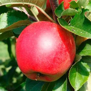 Саджанці яблуня Вільям прайд