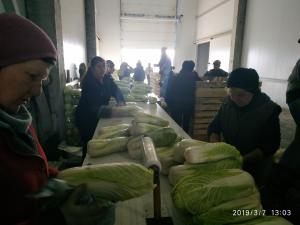 Продам Капусту пекинскую
