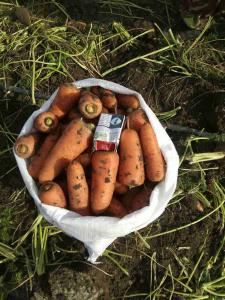 Продам морковь сорта Абака, отменное качество, большие объемы. Экспорт