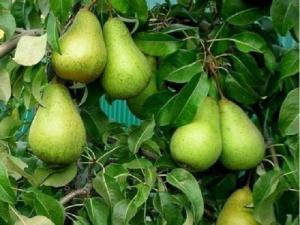 Саджанці груші Стрійська