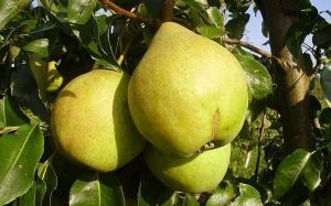 Саджанці груші Марія