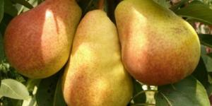 Саджанці груші Літня ніжна