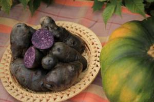 Картошка. Фиолетовый картофель