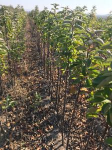Саджанці яблунь від виробника тільки опт колоновидні і низькорослі