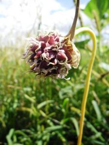 Воздушные семена чеснока