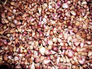 Семена чеснока