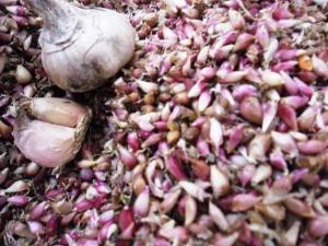 Посадочный материал озимого сортового чеснока