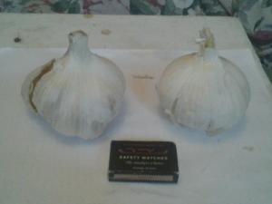Продаю посадочный чеснок Рокамболь (зубки и однозубка )
