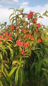 Оптовий продаж персиків з власного саду