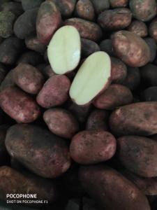 Продам картофель , 5+ , королева Анна . 6,5 грн с пдв