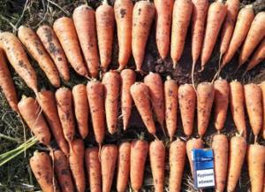 продам морковь сорт Абако