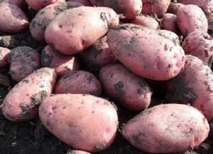 Продам товарный и посадочный картофель, сорт Алладин