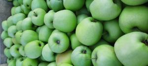 продам яблука Голдан Рендерс