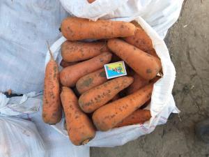 Продам моркву Абако