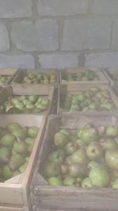 Продам ноябрьську грушу 3000 кг.ціна за домовленістю.