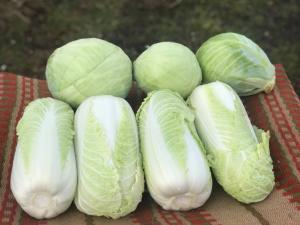 Продам пекінську капусту, сорт Білко. Висока якість, приємна ціна