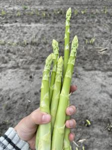 Продам Спаржу (Asparagus). Выращиваем на своём поле.