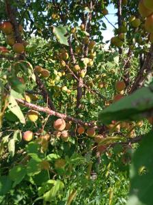 Продам абрикоси. Київський красень