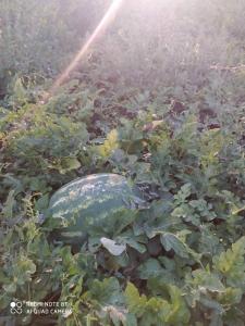 Продам арбуз оптом с поля