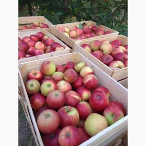 Яблука: Джонаголд, Айдаред, Глостер, Червоний Принц.