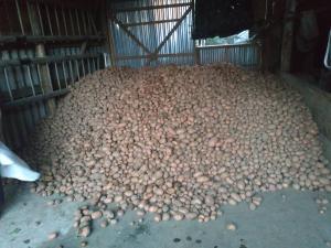 картопля домашня власного виробництва