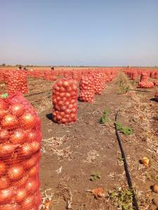 Продам лук оптом с поля в Запорожской обл.(Акимовский р-н)