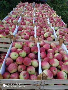 Продам яблука Слава Переможцям