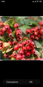 Продам свіжі ягоди глоду