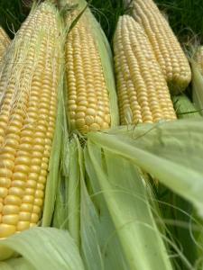 Продам качани солодкої кукурудзи