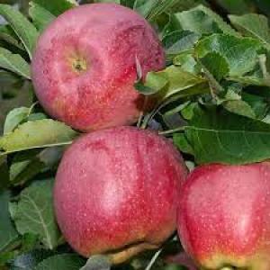 Продам яблука сорту: Флоріна, Райка, Голд Богемія, Чемпіон