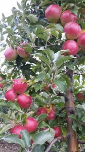 Продам яблука відмінної товарної якості