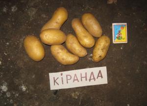Картофель сортовой: Киранда, Киви, Ажур, Взирець и др.