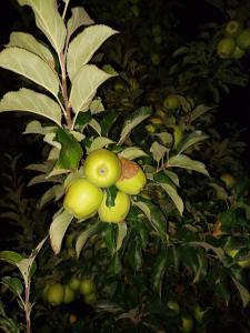продам яблука з саду