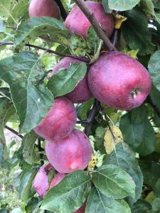 Продам яблука сорту Ліберті