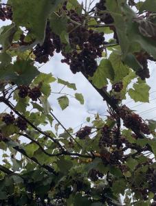 Продам виноград винных сортов
