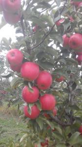 Продам яблука зі свого саду, без парші та градобою. Ціна договірна