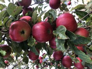 Яблука з власного саду