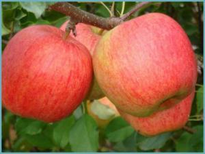 Яблука Чемпіон